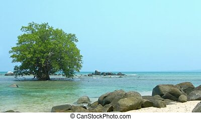 Mature, Solitary Mangrove Tree in the Shallow Tropical Sea Water
