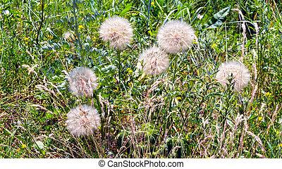 Mature tragopogon flowers - Grass background with mature ...
