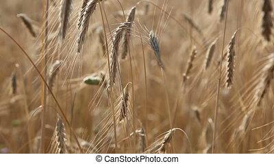 Mature Wheat in a Field - A mature wheat in a hot summer...