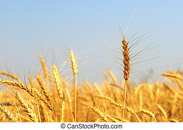 Mature Winter Wheat
