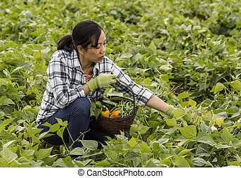 Mature women selecting beans in field