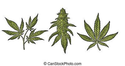 maturo, vettore, foglie, pianta, incisione, buds., illustrazione, marijuana