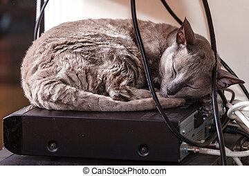 mau, エジプト人, 睡眠, 動物, ねこ, home.