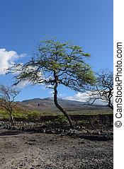 maui, 島, ハワイ, 木