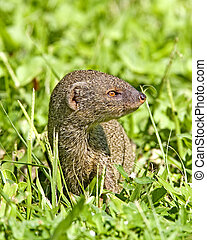 maui, mongoose