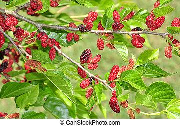 maulbeere, busch