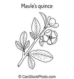 Maule quince Chaenomeles japonica , medicinal plant. Hand...