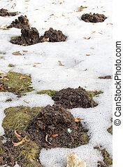 maulwurf, molehill, zwischen, schnee, rasen gras, fruehjahr