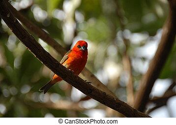 mauricio, pájaro