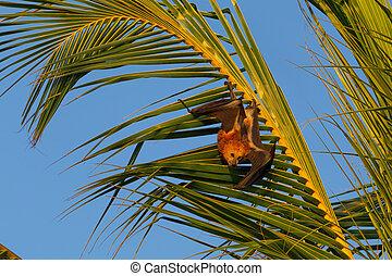 mauritian, niger), voler, renard, (pteropus