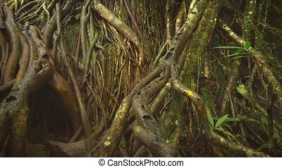 Wild nature of Mauritius. Densely woven surface roots of mature, tropical trees in this jungle wilderness.