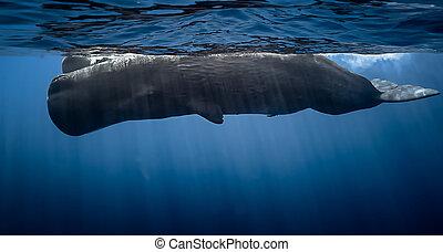 mauritius, sperma, whales.