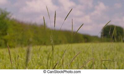 mauvaises herbes, milieu, greenfield, long, mouvementde va-et-vient
