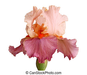 Mauve and pinkish iris flower isolation - Close-up of a...