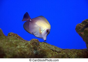 MAUVE AND YELLOW FISH - Underwater view of a mauve and ...