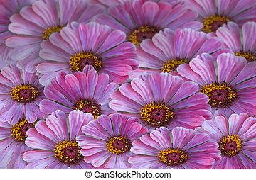 mauve, daisys