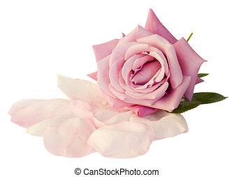 mauve rose with petals