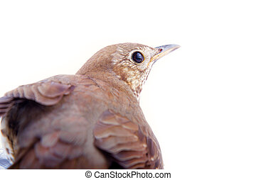 mavis, Turdus philomelos, closeup portrait, songbirds,...