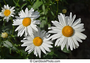 Max chrysanthemum - Latin name - Leucanthemum maximum