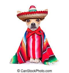maxican chihuahua - fun mariachi mexican chihuahua dog...