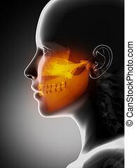 maxillofacial, radiografía, concepto, mandíbulas