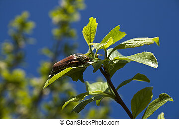 May beetle. - A may beetle resting on a plant.