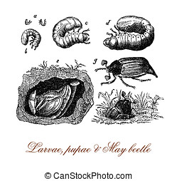 May beetle metamorphosis from larva, pupa to insect, vintage...