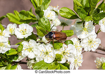 May beetle on flowering plum. macro cockchafer