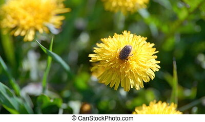 May Beetle on the Yellow Flower