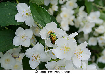 May beetle on white flowers