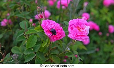 May beetle sits on pink rose flower in garden - beetle sits...