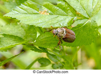 may beetle sitting on a twig with fresh leaves in natural...