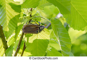 may beetle sitting under a twig with fresh leaves in natural...