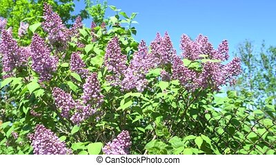 May blooming lilac on a Sunny day. 4K