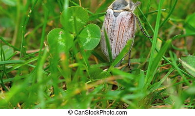 May-bug beetle in grass - May-bug beetle (Cockchafer,...