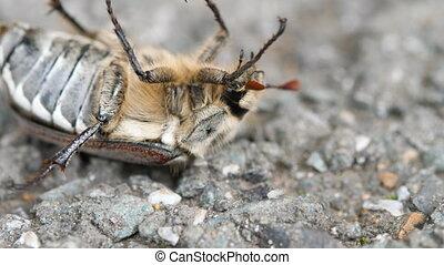 May-bug beetle lying on the back - May-bug beetle...