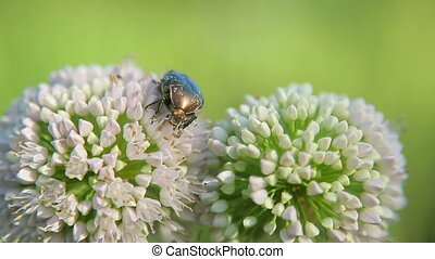 May-bug eats nectar on the flowers of onions