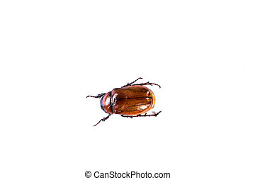 May bug isolated on white