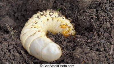 May bug larva in soil - White grub cockchafer (Melolontha)...