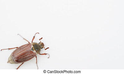 May bug or cockchafer (Melolontha melolontha) crawling from...