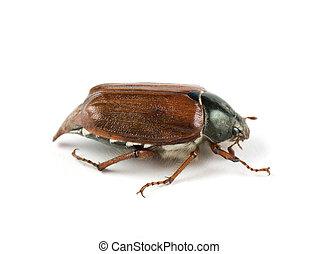 May-bug isolated on white background