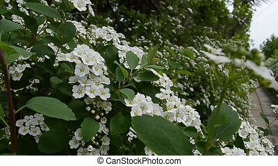 May Bush Flower - The hawthorn flowers bushes. Other common...
