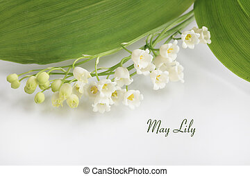 May Lilly lily of the valley