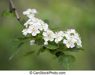 may-tree, aubépine, aka, fleur, contre, fleurs, thornapple, arrière-plan., flou, whitethorn, crataegus, quickthorn, defocussed, blanc, ou, hawberry.