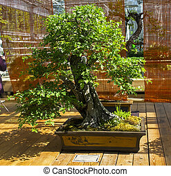 """May-tree (Crataegus) - Bonsai in the style of """"Straight and free""""."""