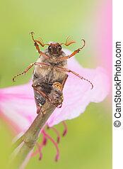 Maybeetle on twig - Maybug or cockchafer sitting on a pink...