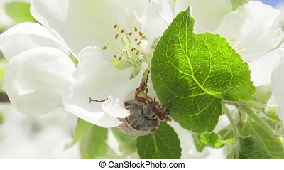 Maybug eats the leaves of an apple