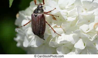 maybug flower - large beetle crept lazily through the small...