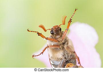 Maybug in closeup - Maybug or cockchafer sitting on a pink...