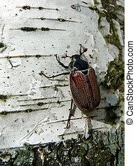 Maybug on birch